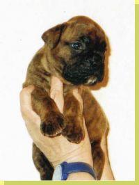 Gipsy vom Grossen Ritter Wurftag: 11.03.2002 Zuchtbuchnummer: 220113